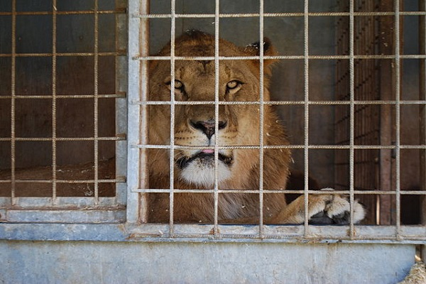 image_wikimedia_lion_cage https://commons.wikimedia.org/wiki/File:20130714_barvaux_cirque08.JPG